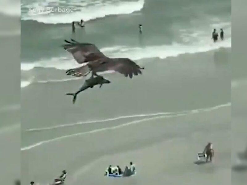 Águila atrapa a bebé tiburón y lo pasea por toda la costa