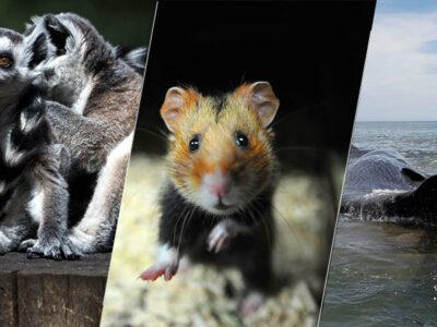 Animales en peligro de extinción: lémur, hámster europeo y ballena negra