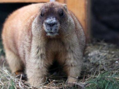 Caza de Marmotas: ¿qué relación tiene con la peste negra?
