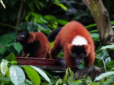 Lémures rojos, especie en peligro de extinción, nacen en Singapur