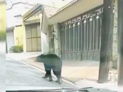 En Nuevo León, capturan oso negro que paseaba en Monterrey