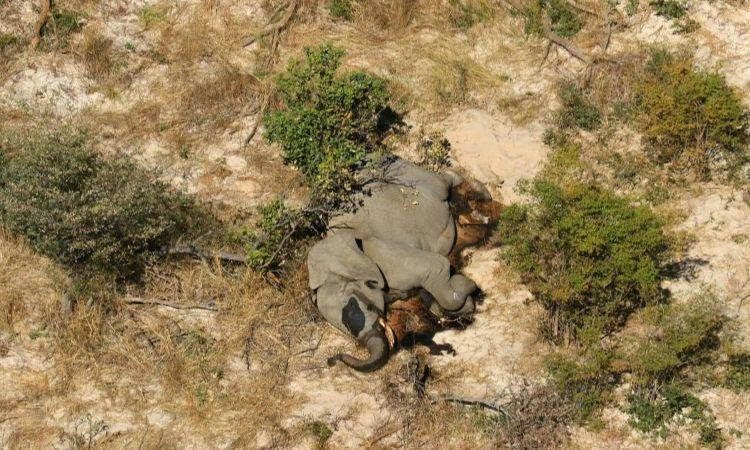 Revelan causa de muerte de cientos de elefantes en Botsuana.