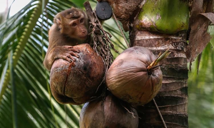 ¿Por qué PETA denuncia esclavitud de monos en Tailandia?