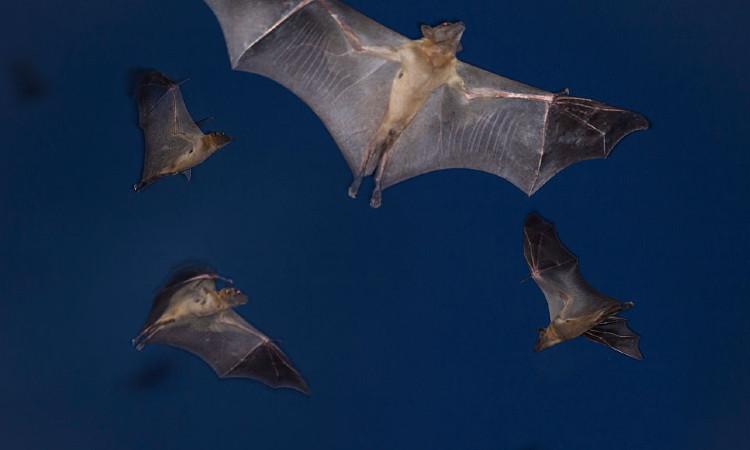 Murciélagos ofrecen espectáculo natural en Sinaloa