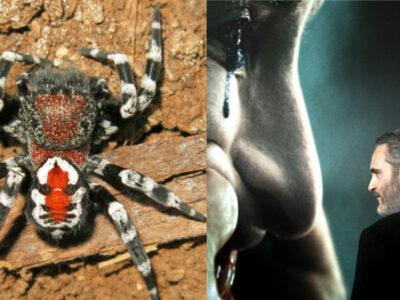 Nueva especie de araña lleva nombre de Joaquin Phoenix por el Joker