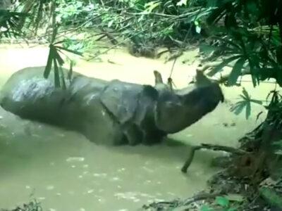 Rinoceronte de Java es captado en video luego de darse un baño