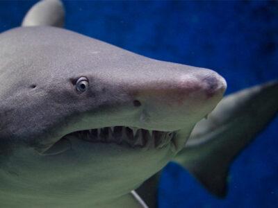 encuentran tiburón extinto