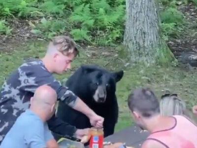 Oso se cuela en picnic y le invitan un sandwich