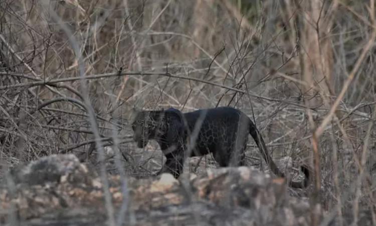 Leopardo negro sorprende a fotógrafo en la India