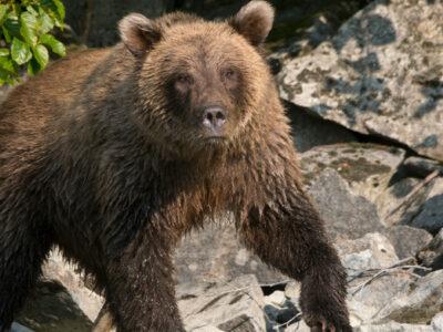 Alaska: oso con sobrepeso no puede caminar y se vuelve viral