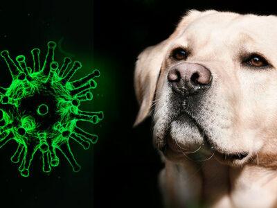 En este aeropuerto detectan COVID-19 con perros entrenados