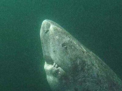 Tiburón de Groenlandia