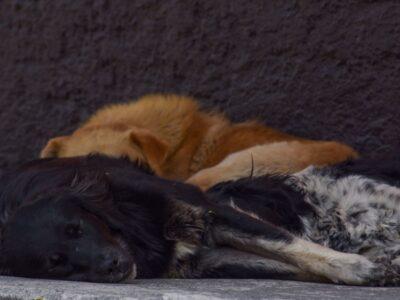 Guanajuato: Hallan fosa con restos de animales torturados