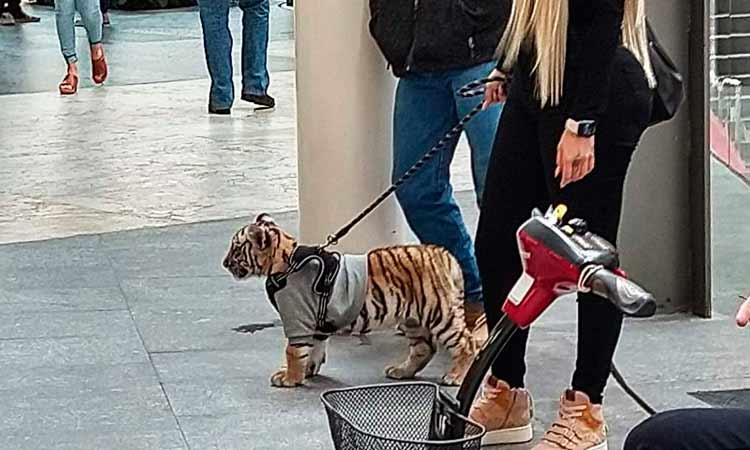 Mujer pasea tigre animales salvajes