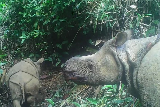 Indonesia: captan 2 rinocerontes de Java; están en peligro de extinción