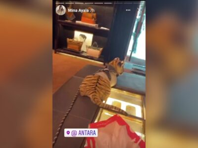 Profepa no encuentra a cachorro de tigre de Plaza Antara