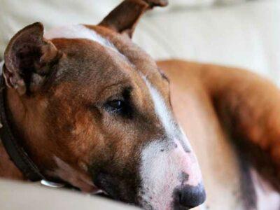 cola y orejas de perro