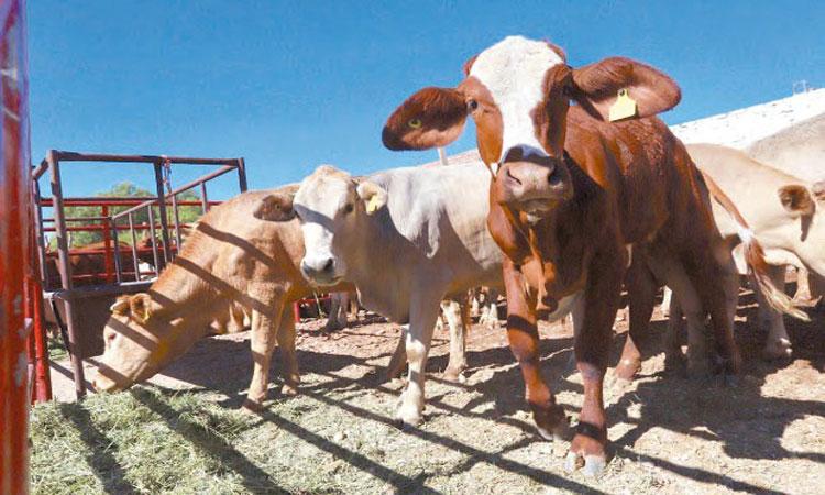 Pese a pandemia, repunta exportación de ganado mexicano
