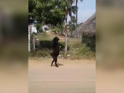 Cabra camina en dos patas y sorprende en India; te decimos por qué