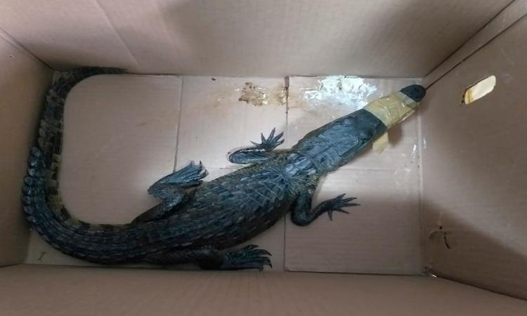 CDMX: halló caja con cocodrilo en su puerta