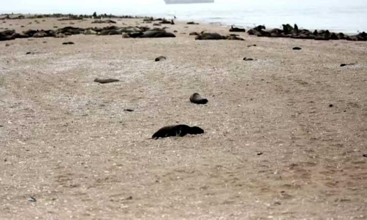 Hallan miles de focas muertas al suroeste de África, en Namibia