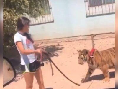 Sinaloa: Graban a niña que sale a pasear con un tigre en Guasave