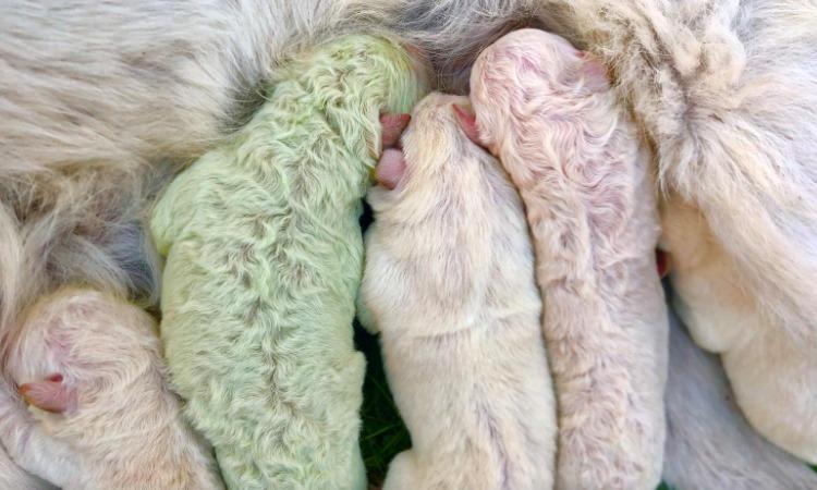 Perrito nace con pelaje color verde en una isla italiana