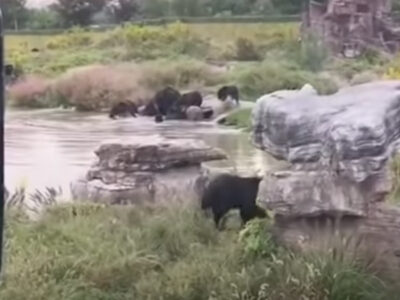 Video: osos atacan a cuidador delante de turistas