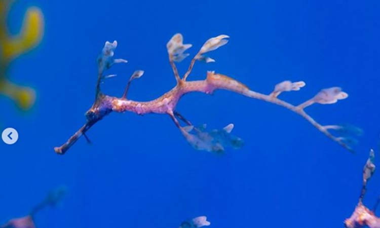 Nacen 24 dragones de mar