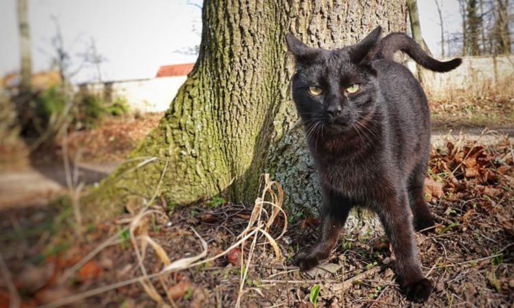 Asociaciones aseguran que gatos negros son usados en rituales durante Halloween