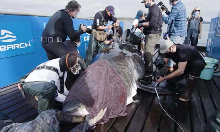 Capturan a enorme tiburón de más de una tonelada en el Atlántico