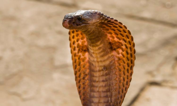 británico cobra covid