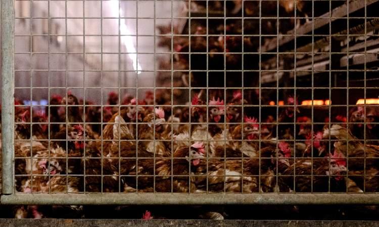 Holanda sacrifica 190 mil gallinas tras aparición de foco de gripe aviar