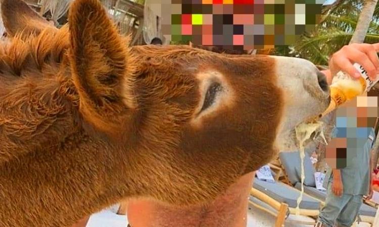 embriagan a burro en hotel de Quintana Roo