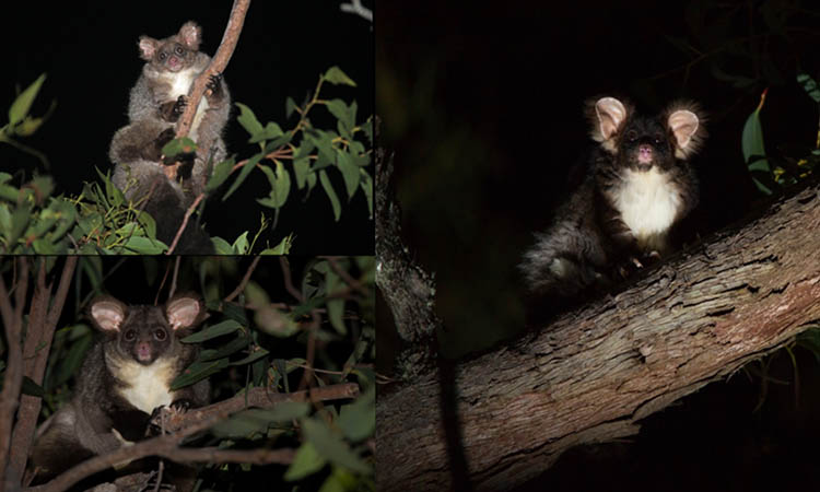 nuevos marsupiales