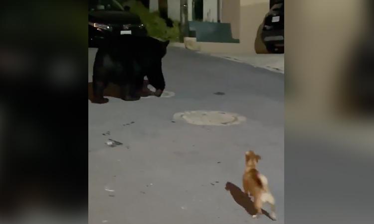 Monterrey: perrito chihuahua enfrenta a oso