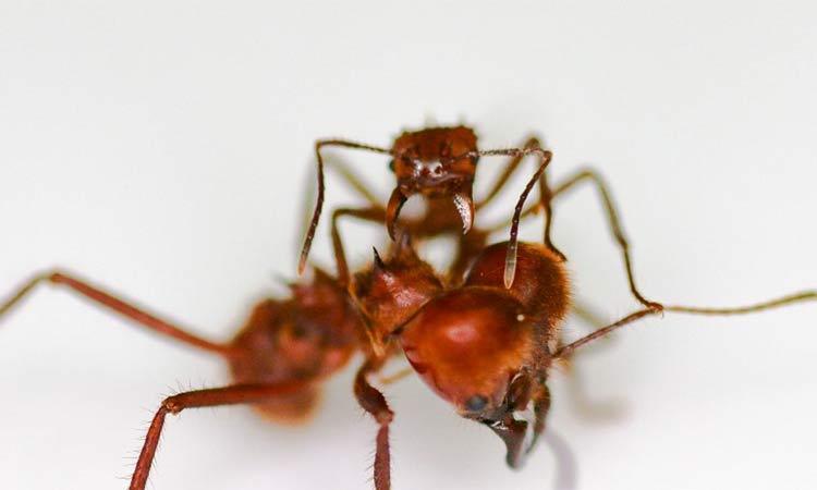 Descubren hormiga que usa inusual armadura biomineral
