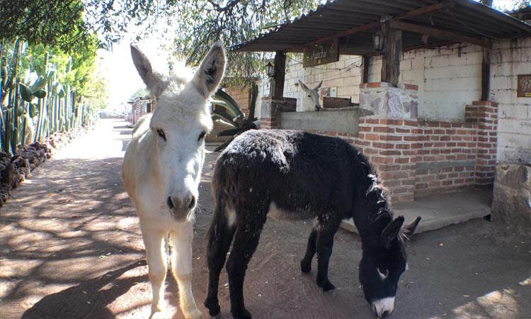 Burrolandia: Buscan ayuda para santuario de burros en Edomex