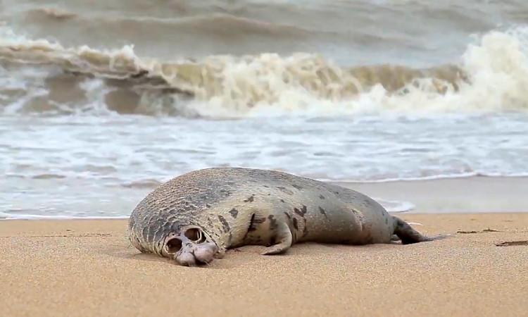 Hallan cerca de 300 focas sin vida en playas del mar Caspio