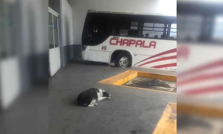 """Jalisco: """"Vaca"""", la perrita que espera a su amigo en central camionera"""