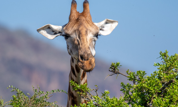 Salvan a jirafa de morir ahogada en Kenia