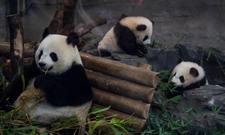 pandas China