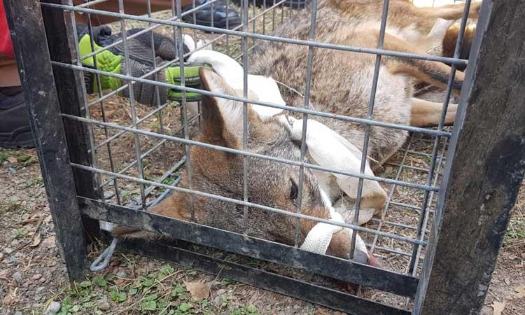 Rescatan a un coyote en clínica del IMSS de Nuevo León