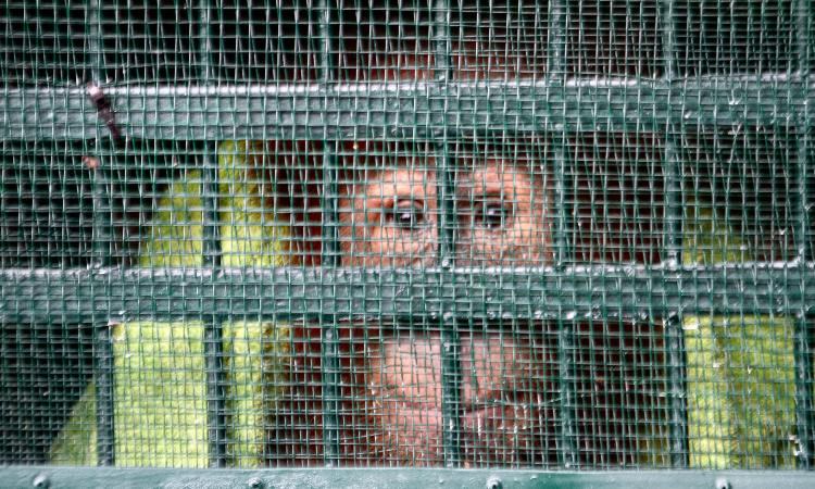 Rescatan a dos orangutanes de Sumatra en Tailandia