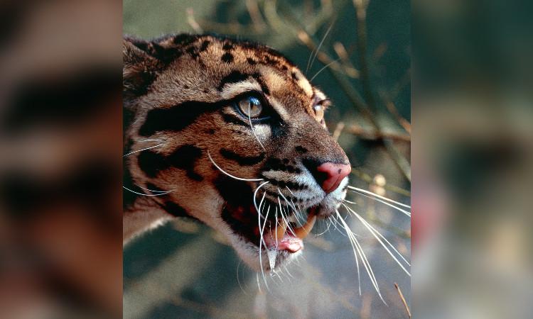 Captan pantera nebulosa luego de 20 años de no tener registro del felino en Tailandia