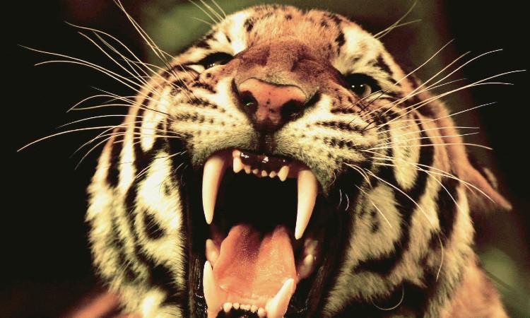 Tigre ataca a su domador durante espectáculo en China; ve video