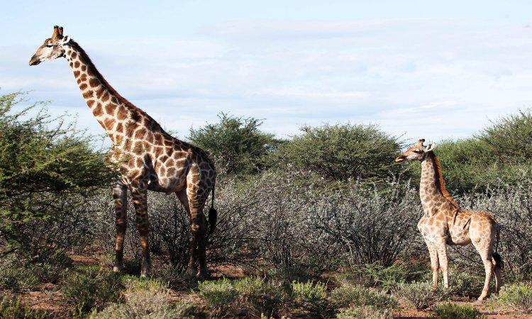 Descubren dos jirafas enanas en África