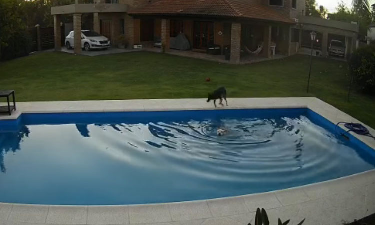 En la red   Perrita salva a su amiga ciega de morir ahogada tras caer a piscina