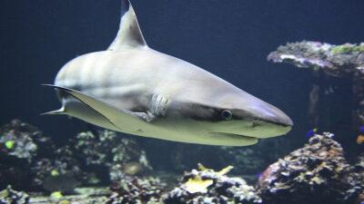 tiburones y rayas desaparecieron