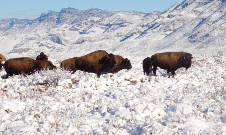 bisonte americano en México